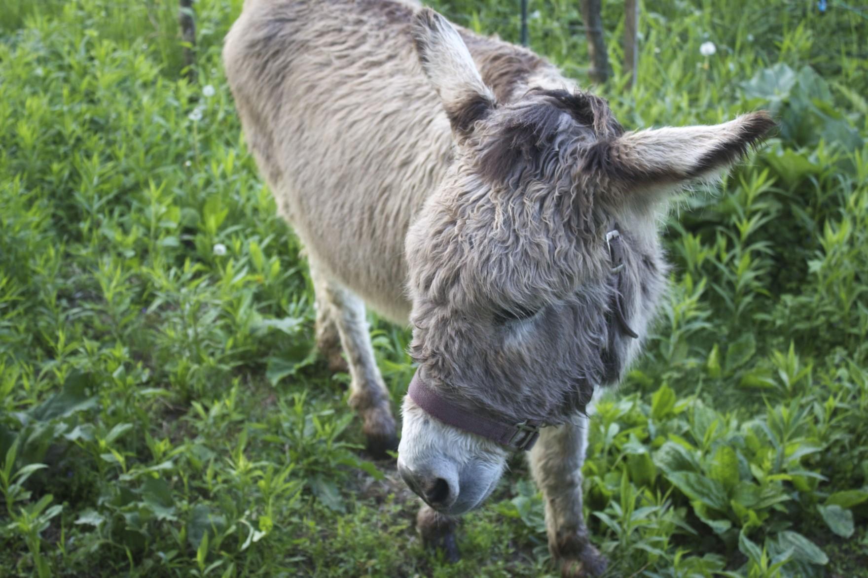 The Bored Vegetarian Donkey