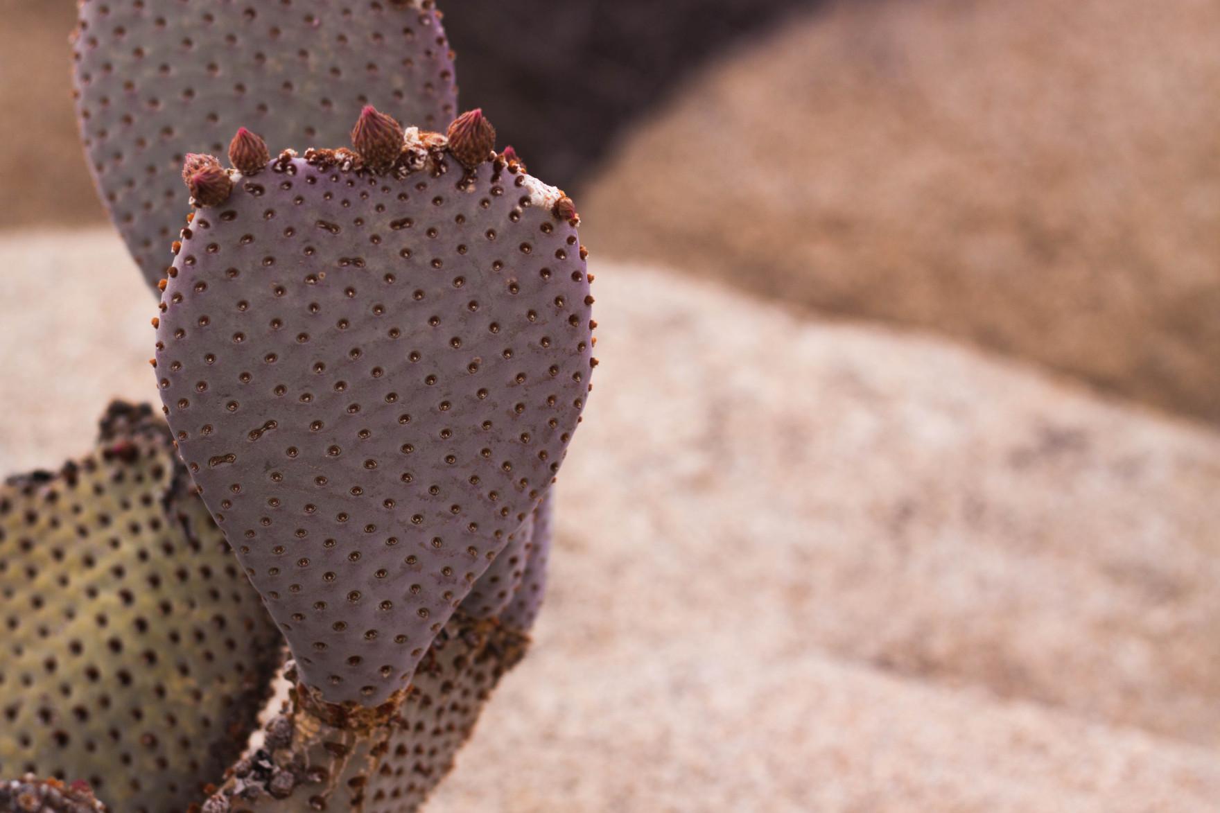 Bored Vegetarian Bethany Pickard Yucca Valley Joshua Tree Purple Cactus-15